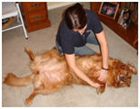 Dog Rehabilitation, Massage, Bodywork in Maryland